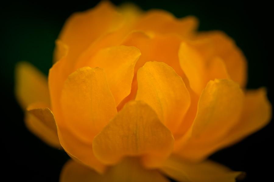 Orange Globe Flower
